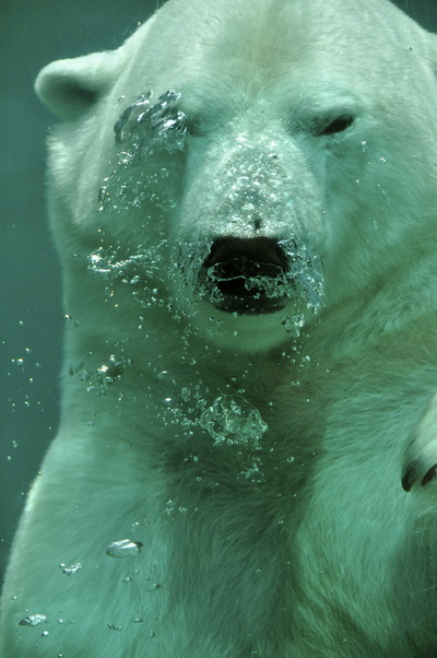life-of-pix-free-stock-photos-Coucou-Polar-bear-water-lillyphotographer